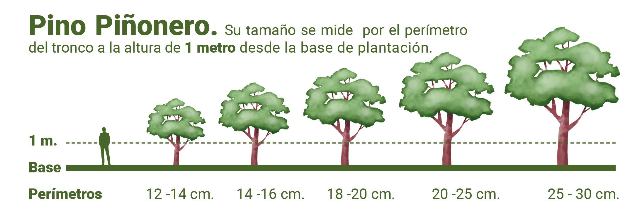 pino piñonero